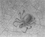 Illustration of a common tick.